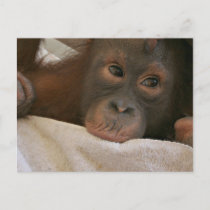 Baby Chimp Postcard