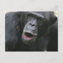 Chimp Chat  Postcard