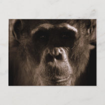 Chimp Postcard