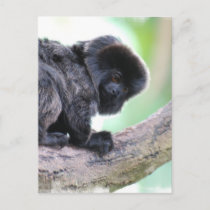 Cute Goeldi Postcard