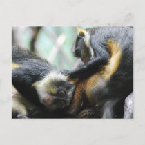 Guenon Monkeys  Postcard