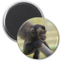 Tufted Capuchin Monkey Magnet